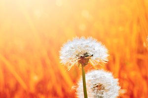 dandelion in red grass