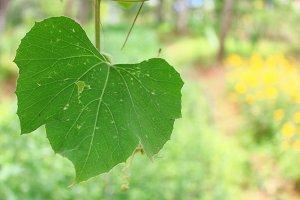 Gourd leaf at a garden