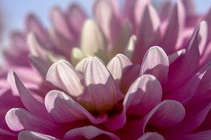 Backlit Pink Dahlia