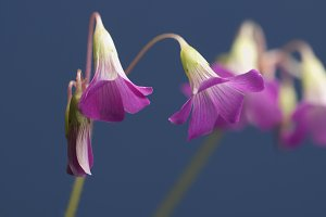 Oxalis martiana flowers