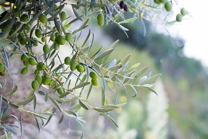 Olive in branches 2