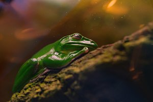 The Australian green tree frog