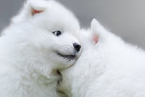 Two puppies of Samoyed dog