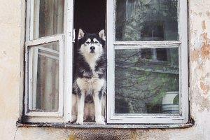 Husky dog sitting at opened window