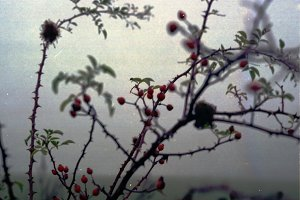 In the forest way 3 (Briar-rose)