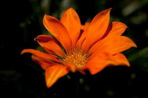 Orange flower on dark background