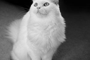 Monochrome white cat