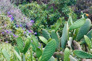 Blossoming cactuses (Opuntia)