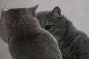 gray cat looks at himself