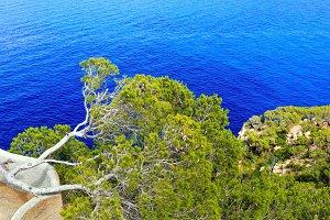 Pine trees above sea.