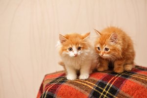 Two cute red kittens sits on plaid