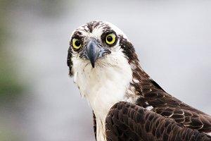 Osprey photo, birds of prey, nature