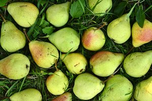 Fruit background. Fresh organic pears on the garden grass. Pear autumn harvest