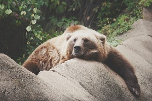 Lazy the Bear