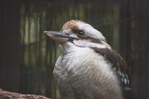 Melancholy Kookaburra