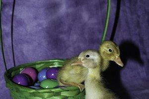 Easter ducklings, ducklings, ducks
