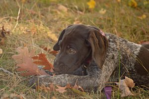 Puppy photo, fall leaves, pointer