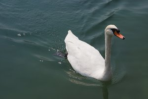 White Swan bird animal