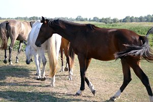 Group of horses grazing on the meadow. Horses is walking and galloping in the field. Close up. Rear back view