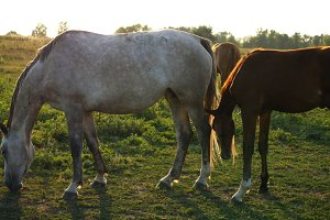 Adult mare and young pony grazing on the meadow. Horses are walking and eating green grass in the field. Close up