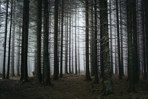 Pine tree forest with fog in autumn