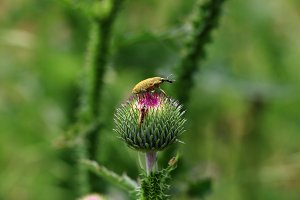 Insect on the thistle