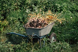 Fresh garlic in a wheelbarrow on background of green grass