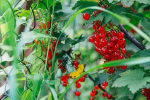 red currant grows on a bush background leaves