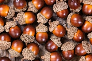 Acorns for the autumn season