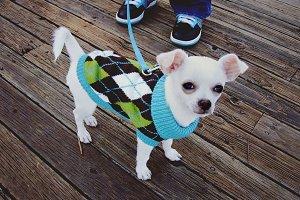 Stylish Chihuahua dog