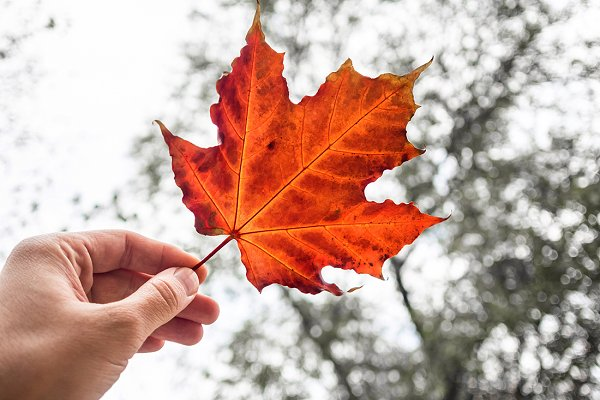 Man's hand holding red Maple Leaf