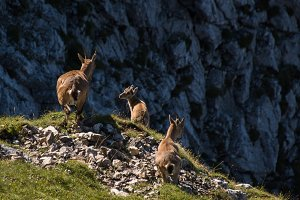 Pack of Ibex in the mountains