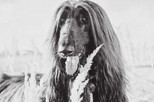 Afghan Hound Portrait