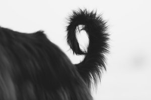 Afghan Hound's Tail