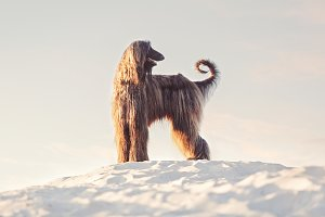 Afghan Hound Standing in the Desert