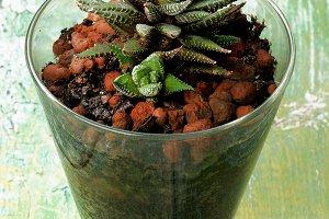 Haworthia Succulent Plant