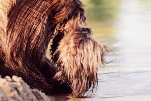 Afghan Hound Drinking Water