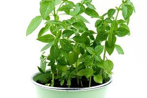 Mediterranean Basil in Pot