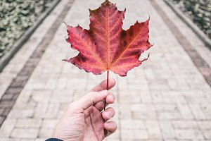 Mans hand holding red Maple Leaf