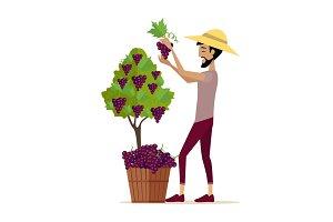 Man Picking Grape During