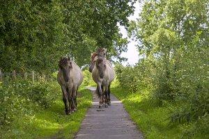 Semi-wild Polish Konik horses
