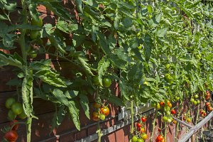 Ripe tomatoes against the wall