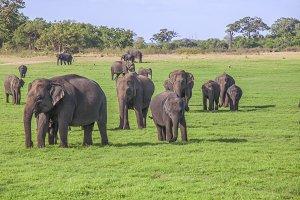 Elephants in Minneriya NP