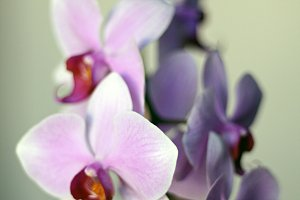 Orchids on Gray Background