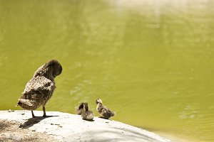 duck with her brood