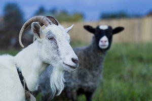 White and gray goat sheep