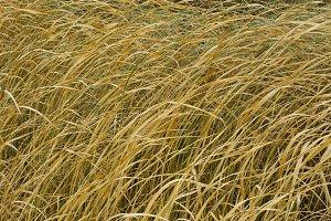 Yellow autumn grass