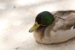 duck resting in summer