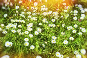 Daisies in a field. Tallinn, Estonia