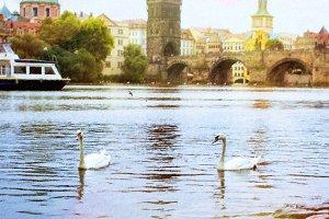 Swans on the Vltava river
